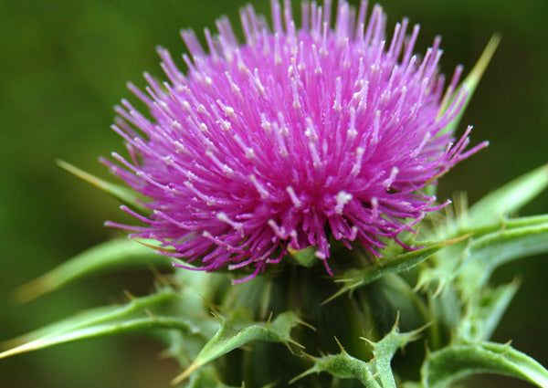 Milk Thistle and Alcohol