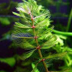 Eurasian Watermilfoil Guide