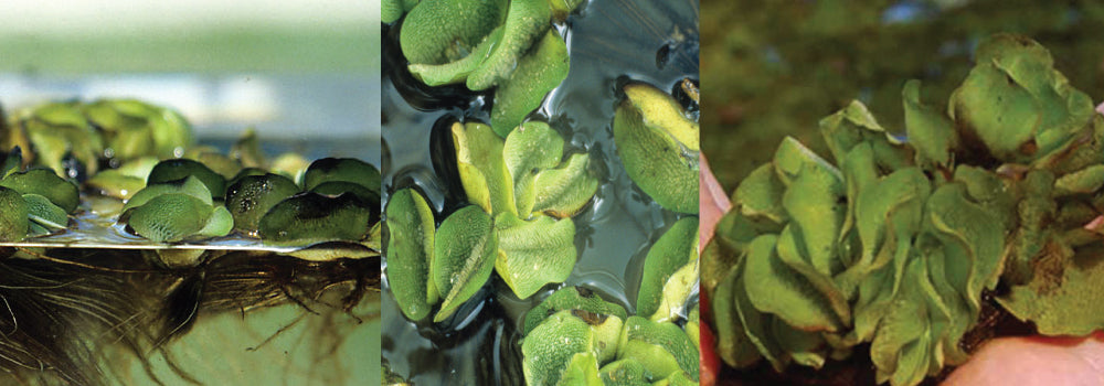 Giant Salvinia Guide