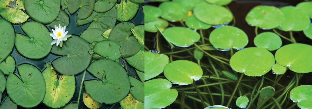Lily Pad Control Guide