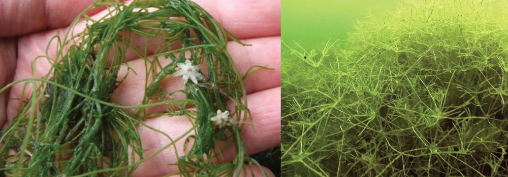 Starry Stonewort Control Guide