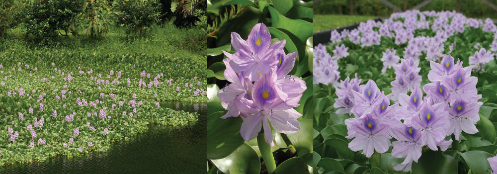 Water Hyacinth Control Guide