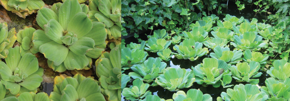 Water Lettuce Control Guide