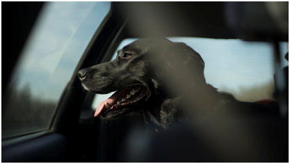 How To Drive Safely With Your Dog – WOPET