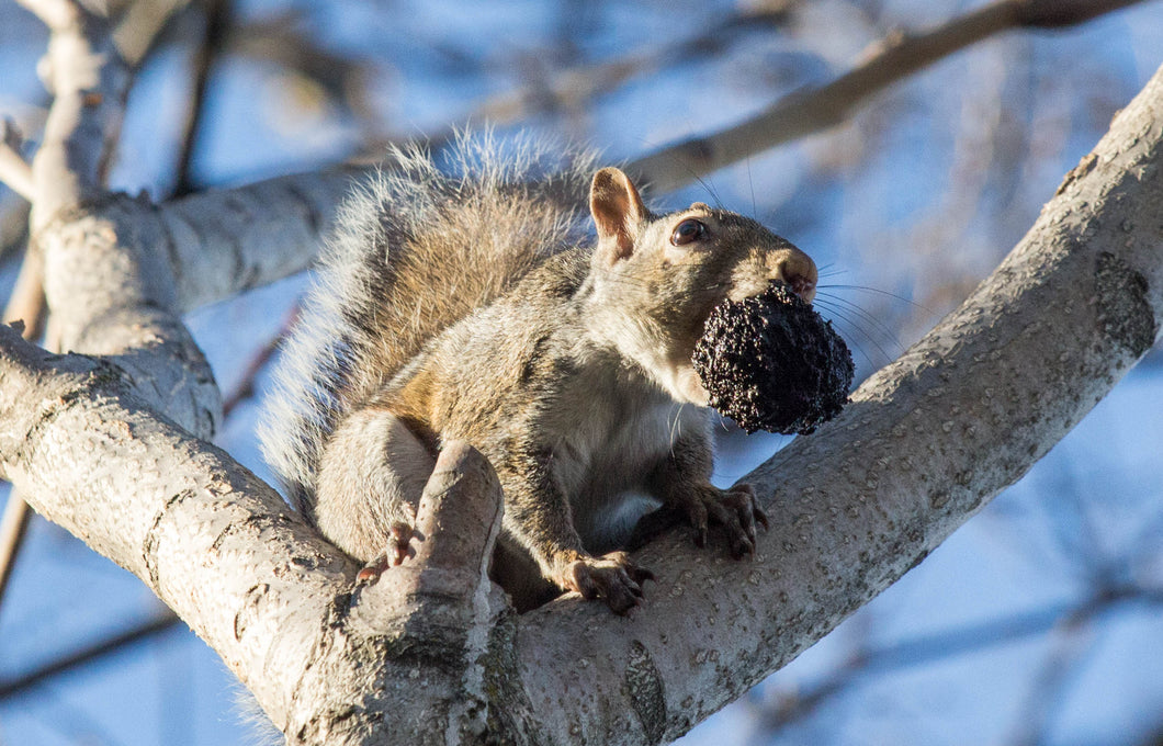 Daily Digital Downloads - feat. a Squirrel with a Walnut - Original VIP Photography