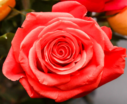 Daily Digital Downloads - feat. A Beautiful Rose - Original VIP Photography