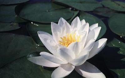 Water Lily, Hardy - White