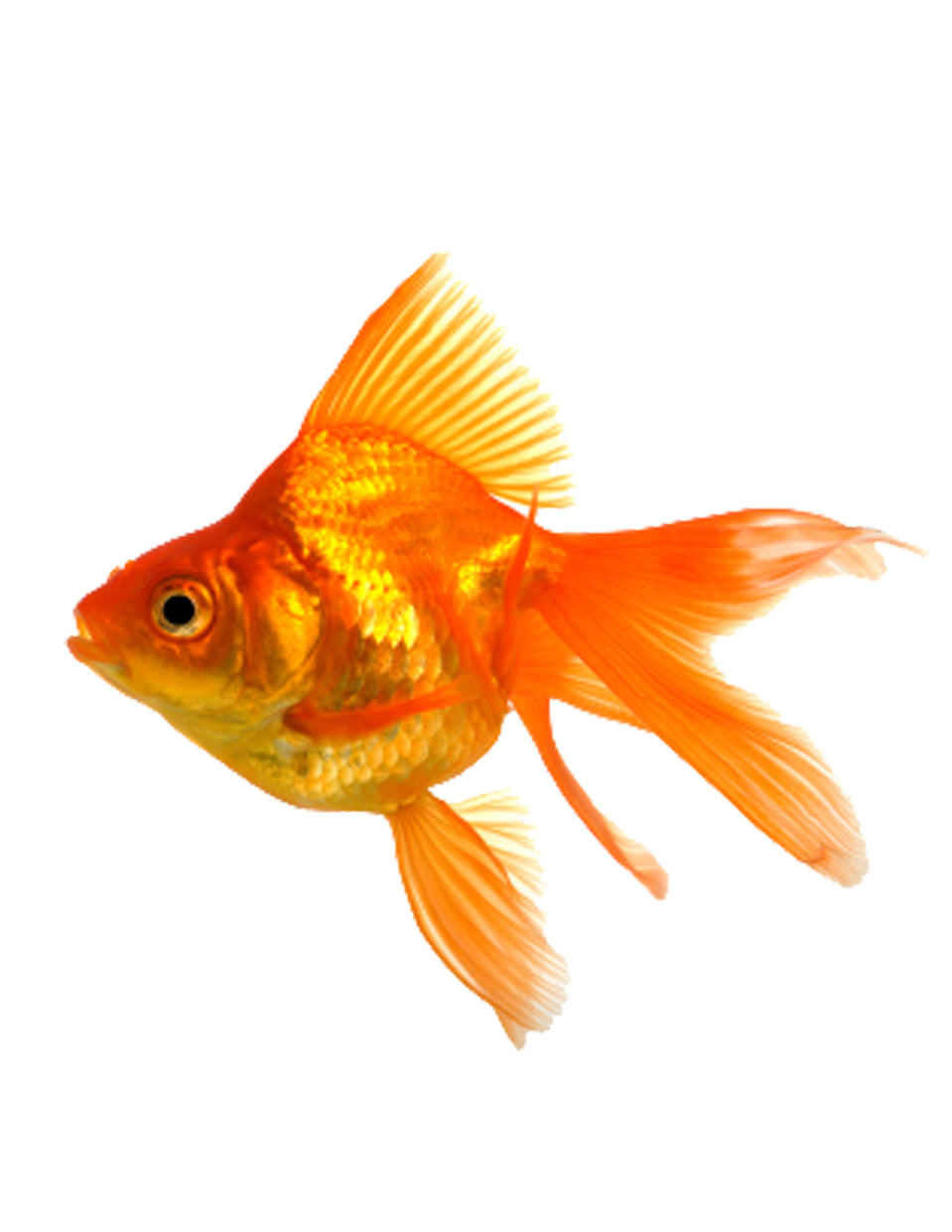 Gold Fishes Photos Fantail Goldfish – J...
