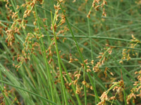 Native Wetland Plant Packages