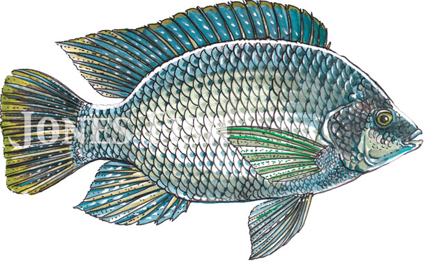 Tilapia Jones Fish Hatcheries