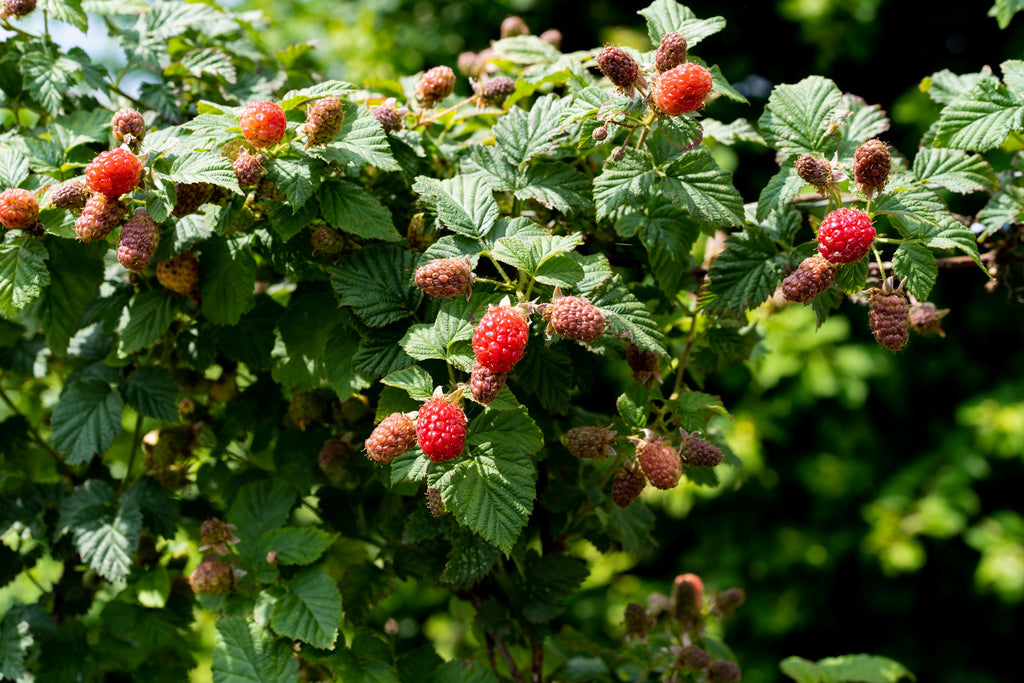 Tayberries on a branch
