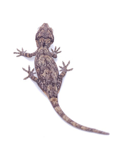 Reticulated Gargoyle Gecko G66