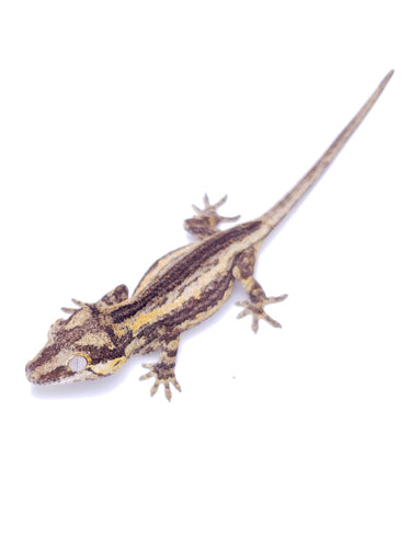 High Yellow Gargoyle Gecko G68 HYxRed