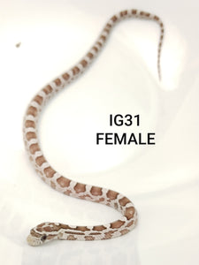Coral Ghost Corn Snake Female