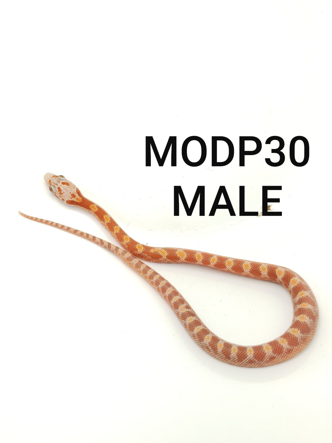 Ultramel Diffused Masque Corn Snake Male