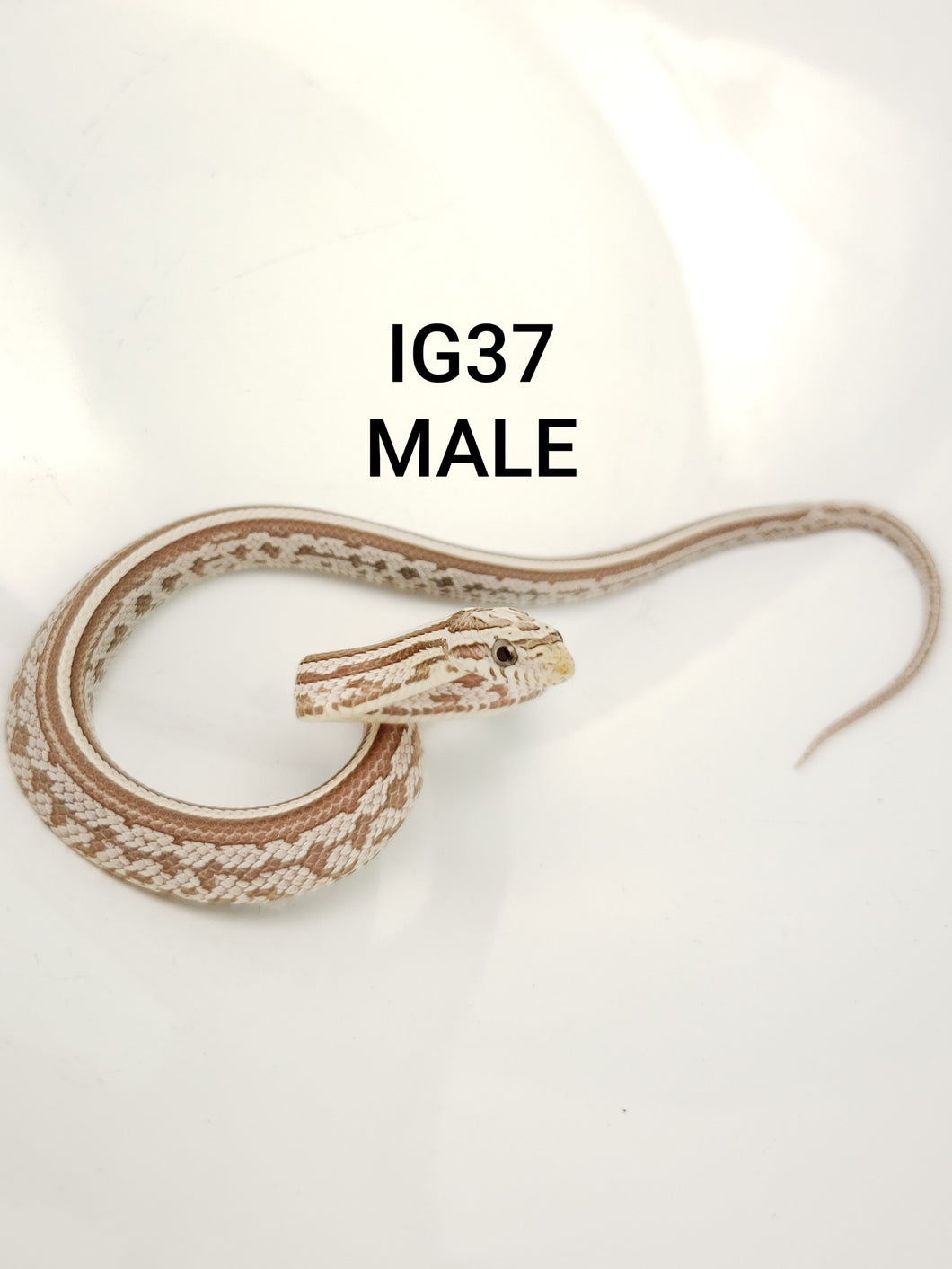 Coral Ghost Tessera Corn Snake Male