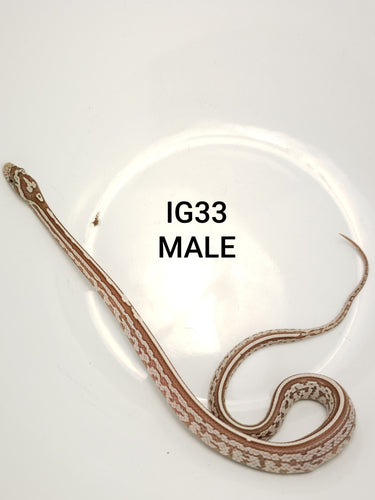 Ghost Tessera Corn Snake Male