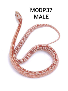 Ultramel Diffused Tessera Masque Corn Snake Male