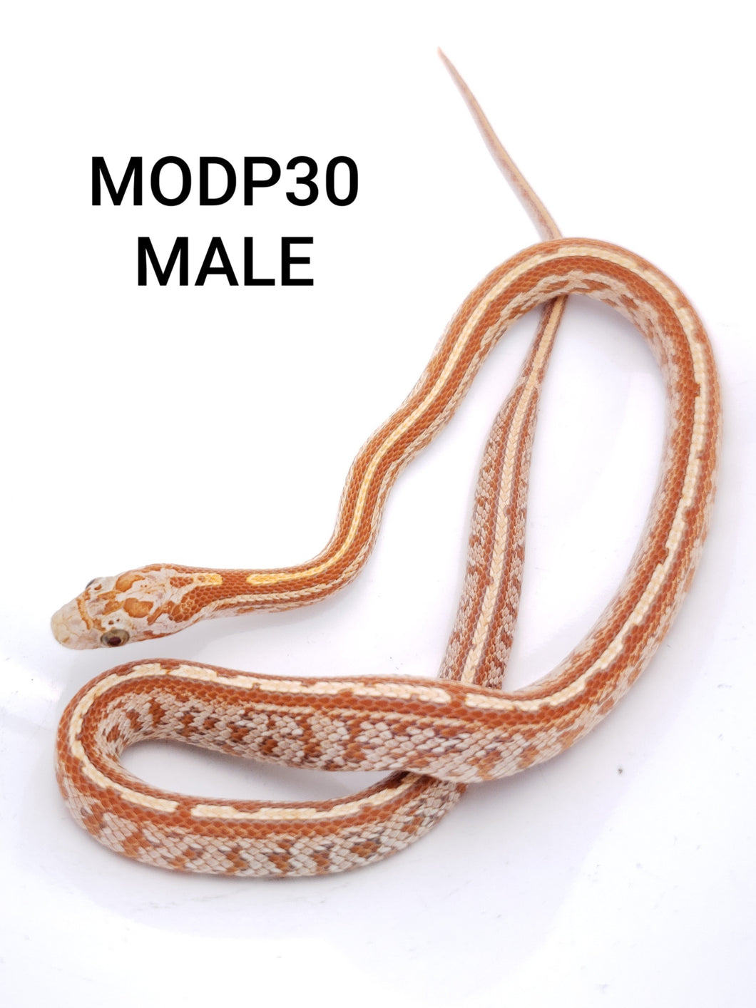 Ultramel Tessera Masque Corn Snake Male