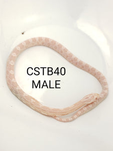 Snow Corn Snake Male