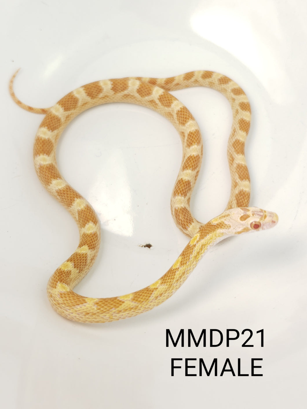 YEARLING Sulfur Masque Corn Snake Female