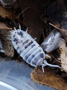 "Porcellio laevis ""Dairy Cow"" Isopods 12+ct. WHOLESALE"