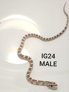 Ghost Corn Snake Male