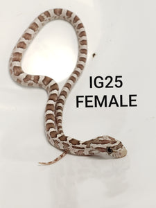 Ghost Het Stripe Corn Snake Female