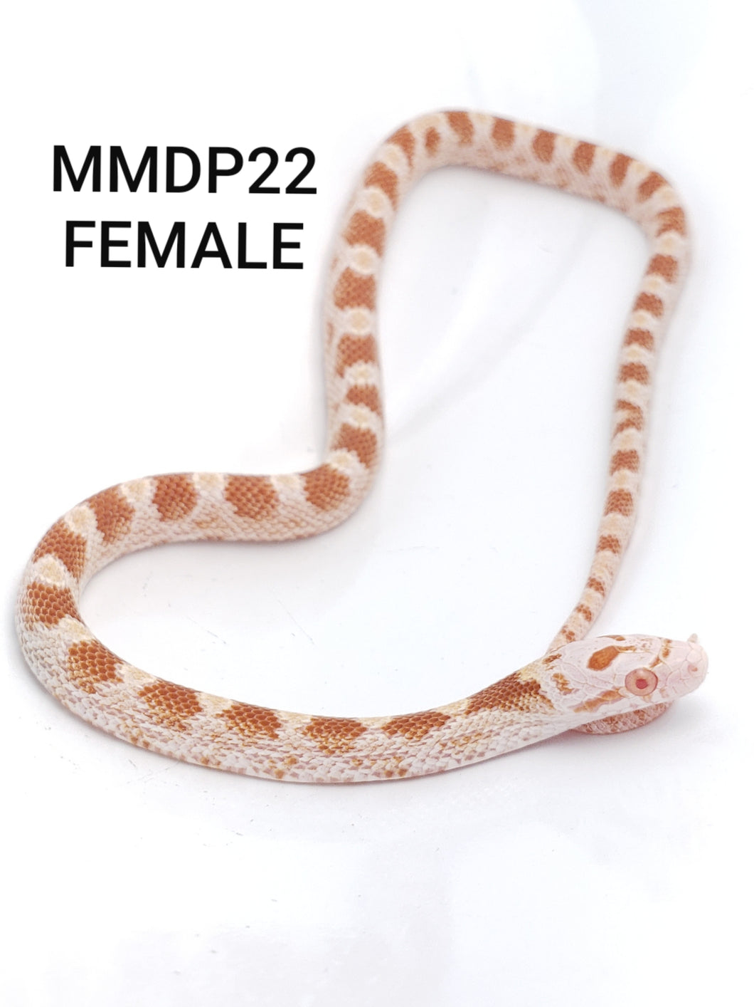Sulfur Masque Corn Snake Female