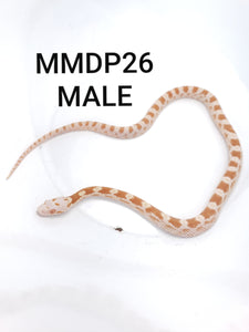 Sulfur Corn Snake Male