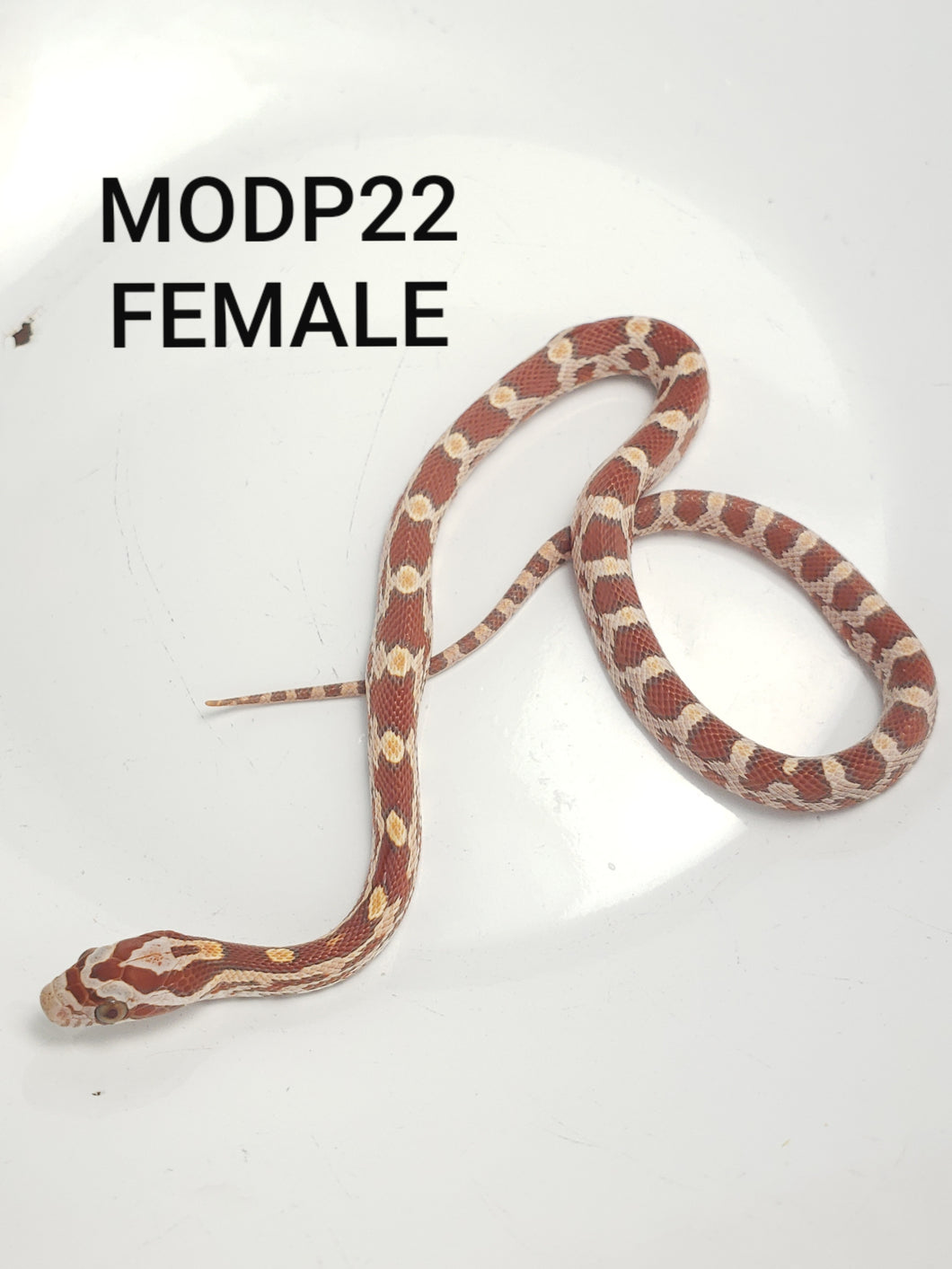 Ultramel het. Diffused ph Caramel Corn Snake Female