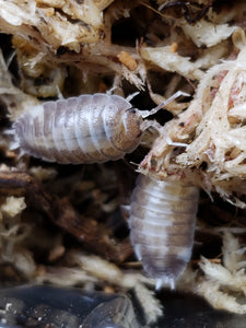 "Porcellio laevis ""Milk Back"" Isopods 12+ct."