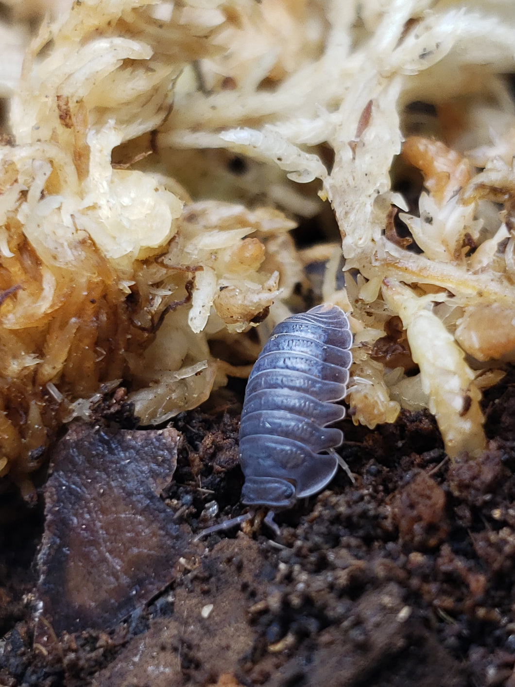 Cubaris murina Isopods WHOLESALE