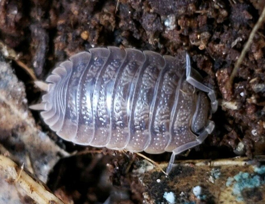 Giant Canyon Isopods 12+ct. WHOLESALE