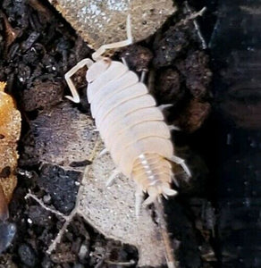 Powder Orange Isopods WHOLESALE
