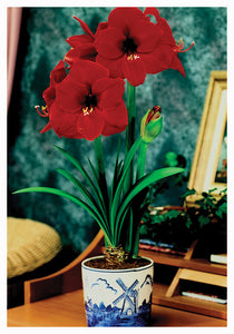 Indoor Delft Blue Ceramic Bowl Kits/Amaryllis - Unit #26232
