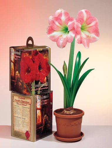 Friend of the Earth Amaryllis Indoor Growing Kits - Unit #26235
