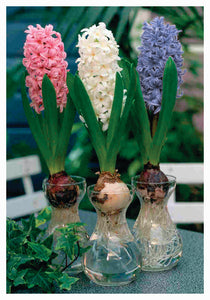 Indoor Hyacinth Glass Vase Kits - Unit #26234