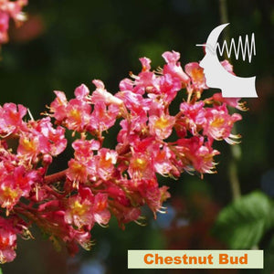 Terapia Floral - Chestnut Bud