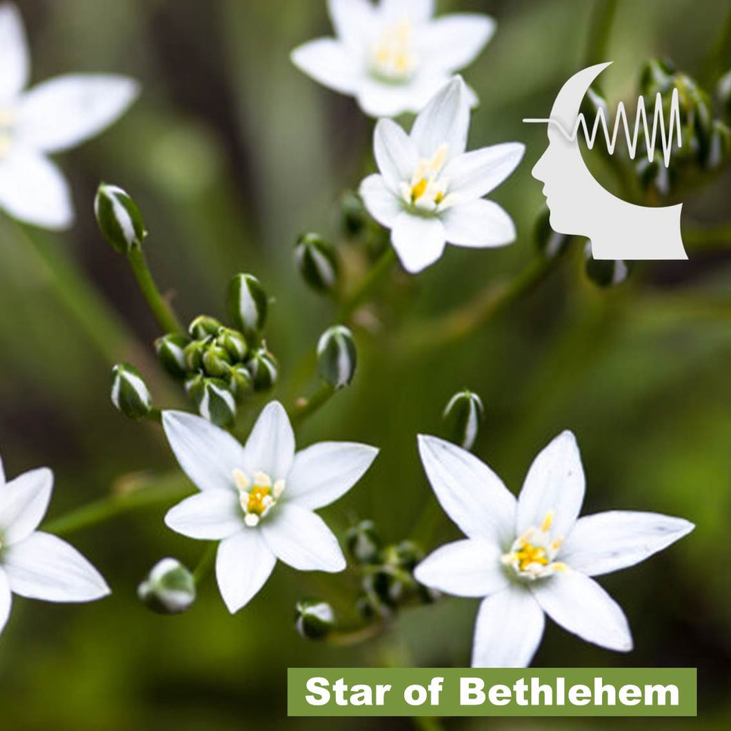 Terapia Floral – Star of Bethlehem