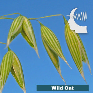 Terapia Floral – Wild Oat