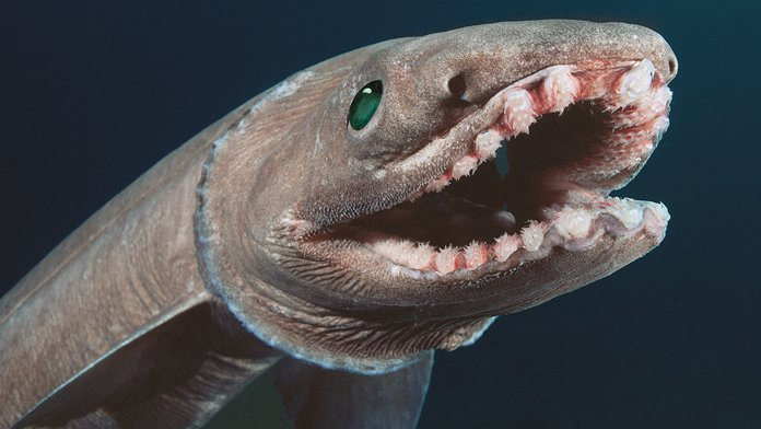 Dinosaur-Age Shark with 300 'Frilled' Teeth Caught in Deep Sea