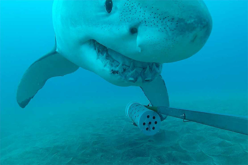 Crunch! Curious Great Shark White Shark Snags under Water Camera