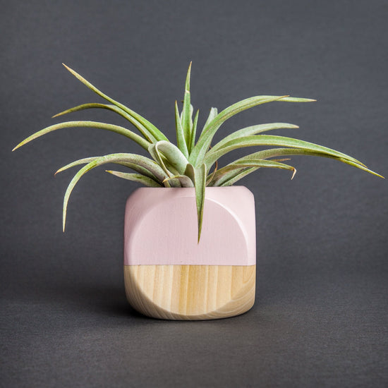 Two-Toned Planters and Air Plant