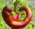 A Seed Story: Jimmy Nardello Peppers
