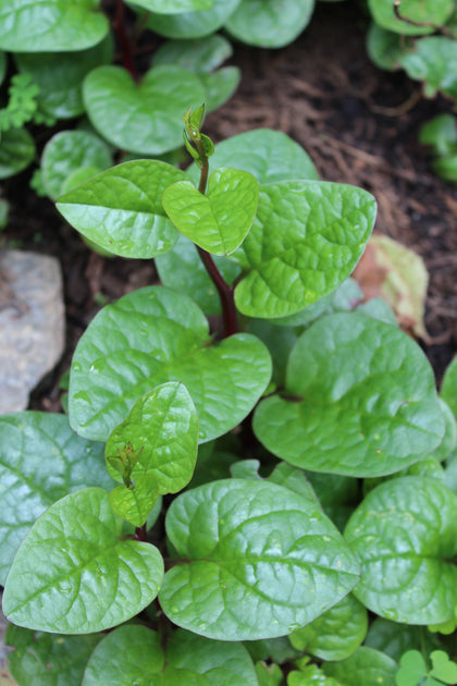 The Top Six Greens to Grow this Summer – Sow True Seed