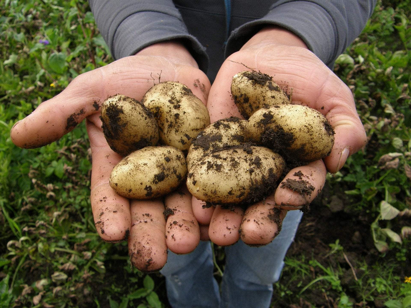 Certified Seed Potatoes - organic and gourmet options. Range of colors.