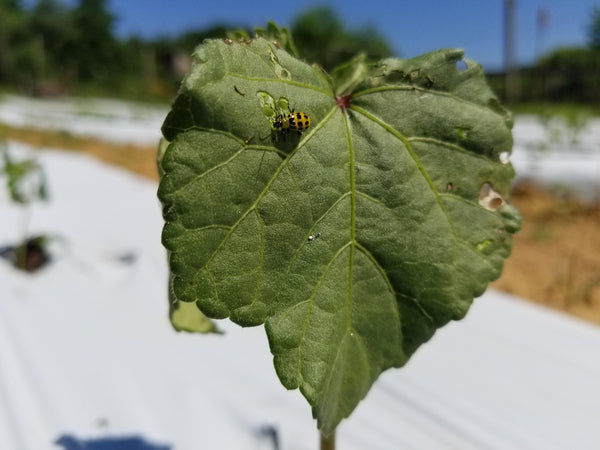 Spotted cucumber beetle eating an okra leaf - yellow body, black dots.