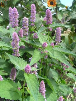Hyssop Herb is great for an herbal tea infusion.