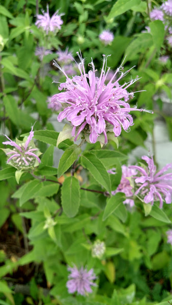 Butterflies, hummingbirds, and bees flock to Bee Balm, these edible lavender colored flowers on 12-24″ tall plants, great for drying and making teas with.